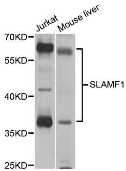 CD150 Antibody in Western Blot (WB)