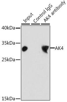 Adenylate Kinase 4 Antibody in Immunoprecipitation (IP)