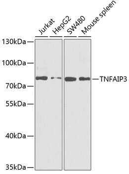 TNFAIP3 Antibody in Western Blot (WB)