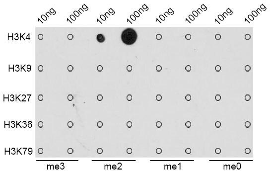 Di-Methyl-Histone H3 (Lys4) Antibody in Dot blot (DB)