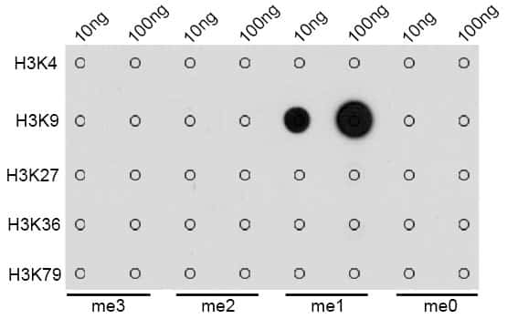 Methyl-Histone H3 (Lys9) Antibody in Dot blot (DB)