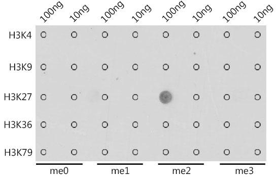Di-Methyl-Histone H3 (Lys27) Antibody in Dot blot (DB)