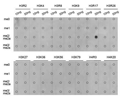 Di-Methyl-Histone H3.1 (Arg17) Antibody in Dot blot (DB)