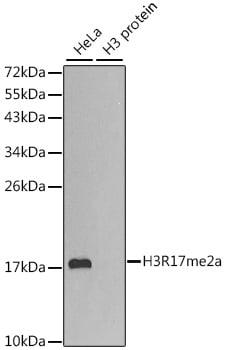 Di-Methyl-Histone H3.1 (Arg17) Antibody in Western Blot (WB)