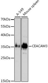 CEACAM3 Antibody in Western Blot (WB)