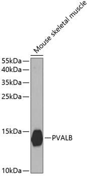 Parvalbumin Antibody in Western Blot (WB)