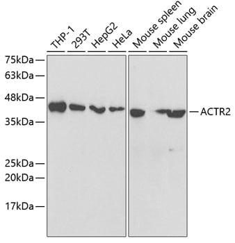 Arp2 Antibody in Western Blot (WB)