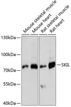 SnoN Antibody in Western Blot (WB)