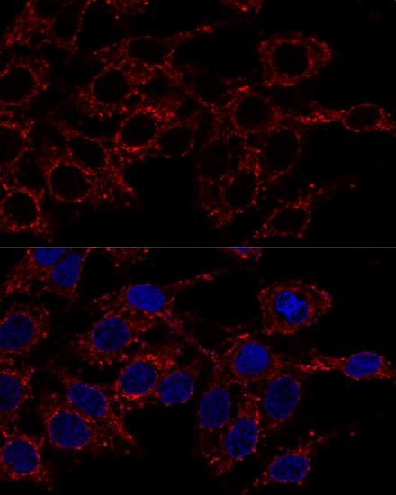 ATP5A1 Antibody in Immunofluorescence (IF)