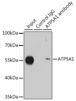 ATP5A1 Antibody in Immunoprecipitation (IP)