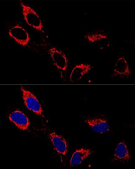 ATP5A1 Antibody in Immunoprecipitation (IP)