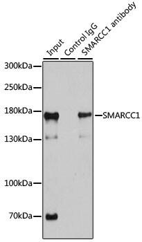 SMARCC1 Antibody in Immunoprecipitation (IP)