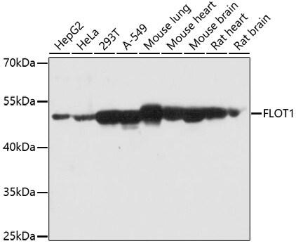 Flotillin 1 Antibody in Immunofluorescence (IF)
