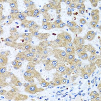 Neuromedin U Antibody in Immunohistochemistry (IHC)
