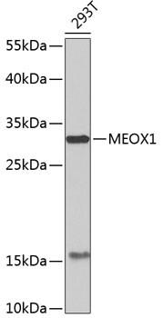 MOX1 Antibody in Western Blot (WB)