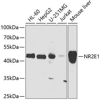 TLX Antibody in Western Blot (WB)