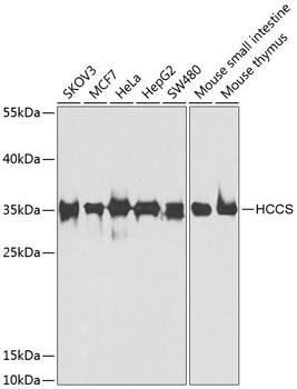 HCCS Antibody in Western Blot (WB)
