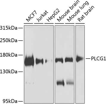 PLCG1 Antibody in Western Blot (WB)