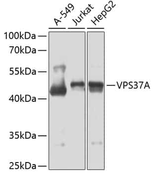VPS37A Antibody in Western Blot (WB)