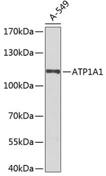 ATP1A1 Antibody in Western Blot (WB)