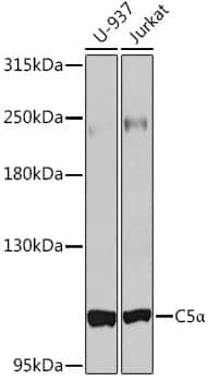 Complement C5 Antibody in Western Blot (WB)
