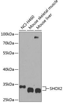 SHOX2 Antibody in Western Blot (WB)
