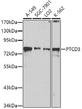 PTCD3 Antibody in Western Blot (WB)