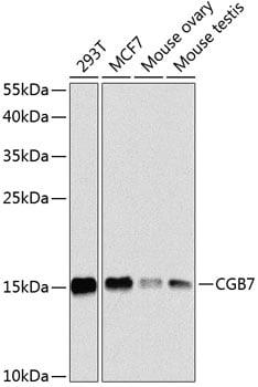 hCG beta-7 Antibody in Western Blot (WB)