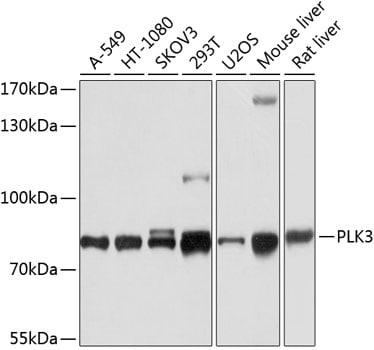 PLK3 Antibody in Western Blot (WB)