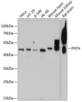 FNTA Antibody in Western Blot (WB)