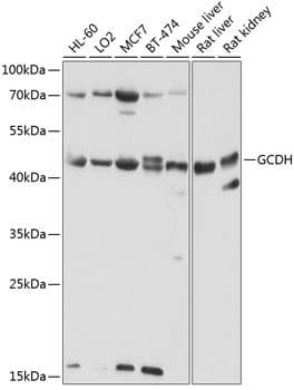 GCDH Antibody in Western Blot (WB)