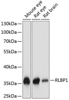 CRALBP Antibody in Western Blot (WB)