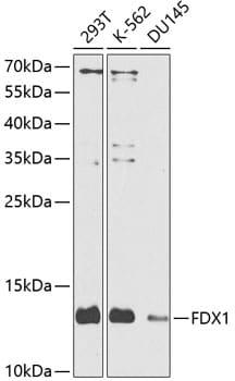 FDX1 Antibody in Western Blot (WB)