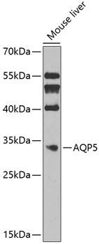 Aquaporin 5 Antibody in Western Blot (WB)