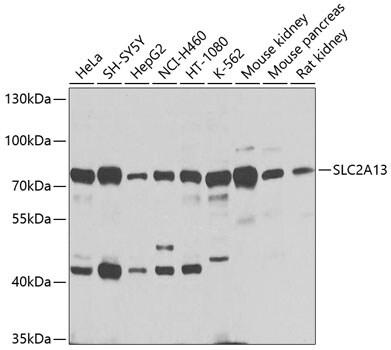 SLC2A13 Antibody in Western Blot (WB)