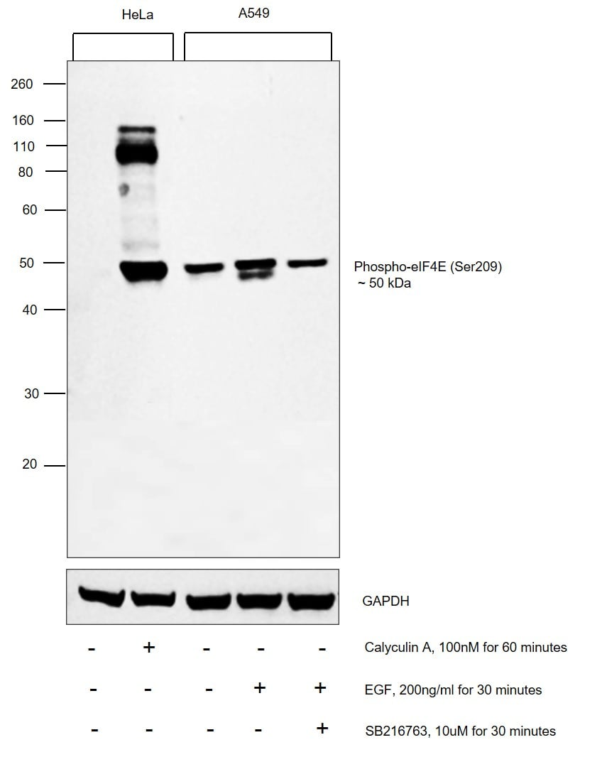 Phospho-GSK3B (Ser9) Antibody in Cell treatment