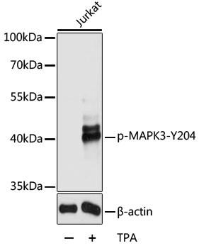 Phospho-ERK1 (Tyr204) Antibody in Western Blot (WB)