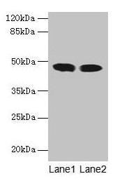 ACADL Antibody in Western Blot (WB)
