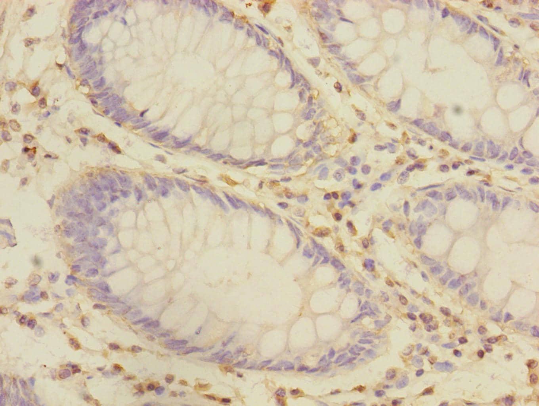 CRIP1 Antibody in Immunohistochemistry (Paraffin) (IHC (P))