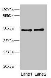 CRTAP Antibody in Western Blot (WB)