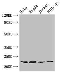 RPS5 Antibody in Western Blot (WB)