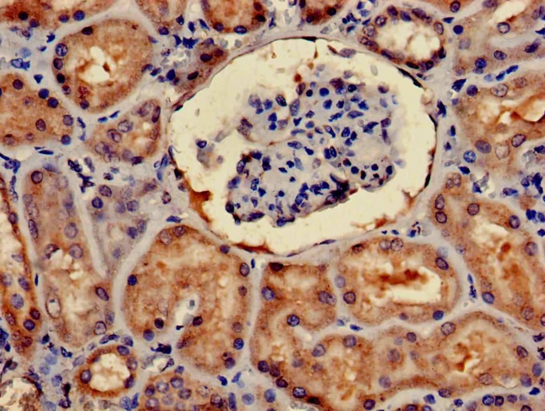 4E-BP2 Antibody in Immunohistochemistry (Paraffin) (IHC (P))