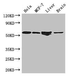 ETS2 Antibody in Western Blot (WB)