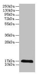 CDA Antibody in Western Blot (WB)