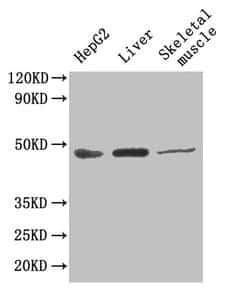 GOT1 Antibody in Western Blot (WB)