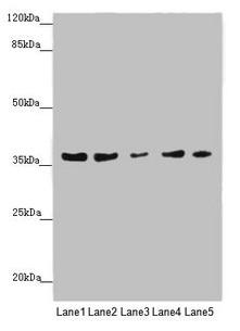MTHFD2 Antibody in Western Blot (WB)