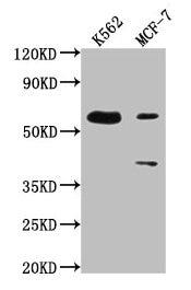 PTBP3 Antibody in Western Blot (WB)
