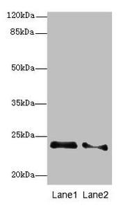 RRAS2 Antibody in Western Blot (WB)