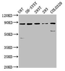 SLC26A4 Antibody in Western Blot (WB)