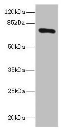 SLCO2B1 Antibody in Western Blot (WB)